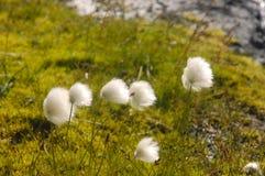 arktiskt bomullsgräs iceland Arkivbilder