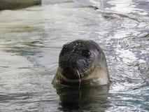 arktyczna foka Obrazy Stock