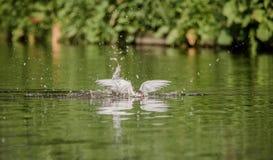 Arktyczna Tern chwytów ryba Fotografia Stock