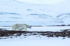 Arktyczna wiosna w południowym Spitsbergen spójrz biegunowy bear Zdjęcie Royalty Free