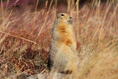 Arktyczna Zmielona wiewiórka Sik lub Sik Fotografia Royalty Free