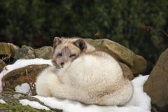 arktycznego lisa śnieg Obrazy Royalty Free