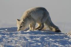 Arktycznego lisa polowanie w wiośnie, Cambridge zatoka, Nunavut Zdjęcie Royalty Free