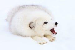 Arktycznego lisa szczekanie Fotografia Royalty Free
