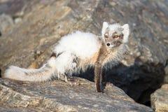 Arktycznego lisa Vulpes lagopus tak?e zna? jako biegunowy lis w lecie obraz stock