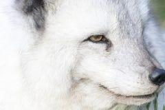 Arktycznego lisa zakończenie w górę portreta nad odsłoniętym obraz stock