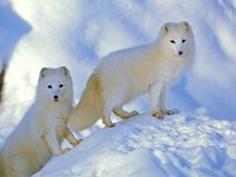 Arktyczni lisy, Alopex Lagopus para na śnieżnym wzgórza dopatrywaniu Zdjęcie Stock
