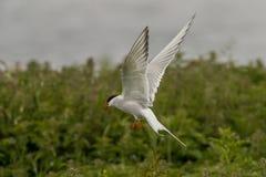 Arktyczni Tern mostki Paradisea Farne zdjęcie royalty free