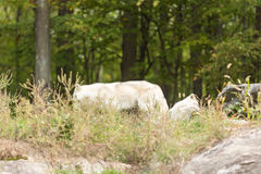 Arktyczni wilki w lesie Fotografia Royalty Free