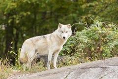 Arktyczni wilki w lesie Obraz Stock