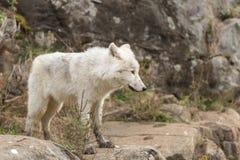 Arktyczni wilki w lesie Zdjęcie Royalty Free