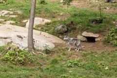 Arktyczni wilki w lesie Obrazy Royalty Free
