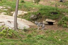 Arktyczni wilki w lesie Zdjęcia Stock