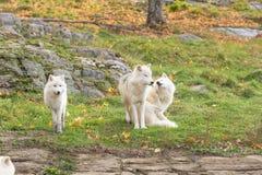 Arktyczni wilki w spadku lesie Fotografia Royalty Free