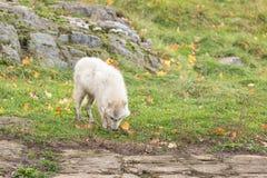 Arktyczni wilki w spadku lesie Obrazy Royalty Free