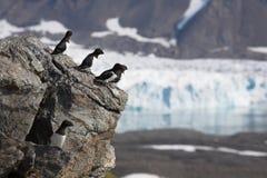 arktyczny auks ptaków lodowiec trochę Obraz Royalty Free