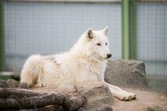 Arktyczny Biały wilka Canis lupus arctos aka Biegunowy wilk, Biały wilk lub obraz royalty free