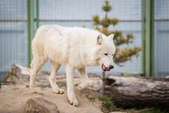 Arktyczny Biały wilka Canis lupus arctos aka Biegunowy wilk, Biały wilk lub obrazy royalty free