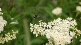 Arktyczny bumblebee Zdjęcia Royalty Free