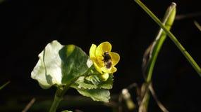 Arktyczny bumblebee Zdjęcia Stock