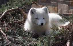 Arktyczny Fox Fotografia Royalty Free