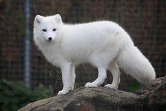 Arktyczny Fox obraz stock
