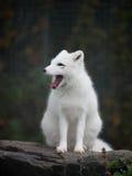 Arktyczny Fox Fotografia Stock
