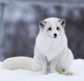 Arktyczny Fox Obrazy Stock