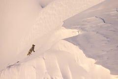Arktyczny Fox obraz royalty free