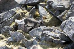 arktyczny lis Zdjęcia Royalty Free