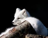 arktyczny lis Fotografia Royalty Free