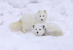 arktyczny lis Obrazy Royalty Free