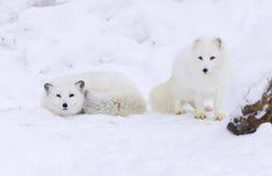 arktyczny lis Fotografia Stock