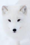 arktyczny lis Obraz Royalty Free