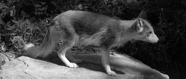 Arktyczny lis, także znać jako biały, biegunowy lub śnieżny lis, zdjęcie stock