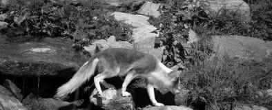 Arktyczny lis, także znać jako biały, biegunowy lub śnieżny lis, fotografia royalty free