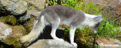 Arktyczny lis, także znać jako biały, biegunowy lub śnieżny lis, obrazy stock