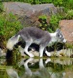 Arktyczny lis, także znać jako biały, biegunowy lub śnieżny lis, zdjęcia royalty free