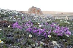 Arktyczny Oxytrope Oxytropis arktyczny w pełnym kwiacie Zdjęcia Royalty Free