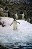 arktyczny pingwin Obraz Royalty Free