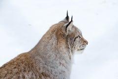 Arktyczny rysia kot Zdjęcia Stock