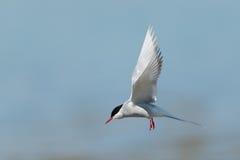 Arktyczny Tern Obraz Royalty Free