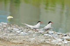 Arktyczny tern jest seabird tern rodzina Sternidae (mostku paradisaea) Tromso Obraz Royalty Free