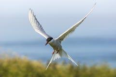 Arktyczny Tern, mostków paradisaea/ Zdjęcia Royalty Free