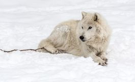 Arktyczny Wilczy lying on the beach na śniegu obraz royalty free