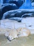 Arktyczny wilk łapać w pułapkę w szklanym domu zdjęcia royalty free