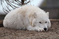 arktyczny wilk zdjęcie stock