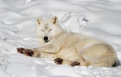 Arktyczny wilk Obraz Stock