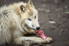 Arktyczny wilk Zdjęcia Stock