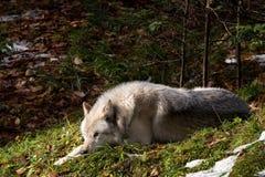 arktyczny wilk Zdjęcie Royalty Free